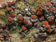 Caloplaca magni-filii