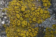 Candelariella coralliza