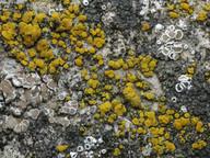 Candelariella aurella