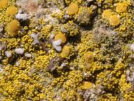 Candelariella xanthostigma