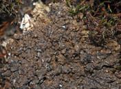 Catapyrenium daedaleum