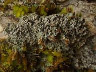 Catapyrenium psoromoides