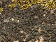 Catillaria chalybeia