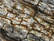 Catillaria erysiboides