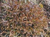 Cetraria ericetorum