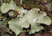 Cetrelia olivetorum