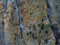 Chaenotheca ferruginea