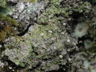 Chaenotheca gracilenta