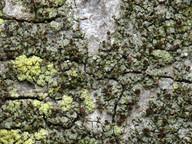 Chaenotheca phaeocephala