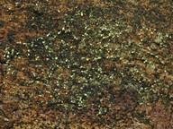 Chaenotheca brachypoda