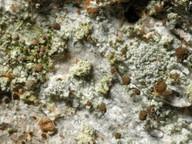 Chaenotheca trichialis