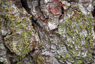 Chaenothecopsis consociata