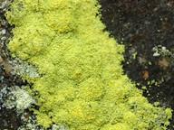 Chrysothrix chlorina