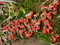 Cladonia floerkeana
