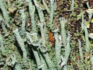 Cladonia cenotea