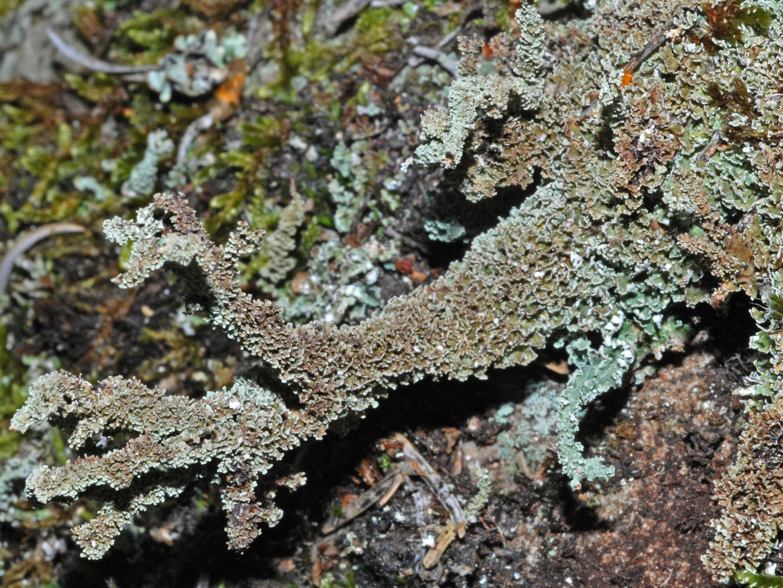 Cladonia squamosa