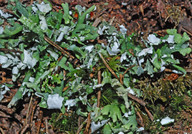 Cladonia turgida
