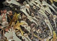 Cladonia carneola