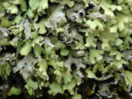 Cladonia foliacea