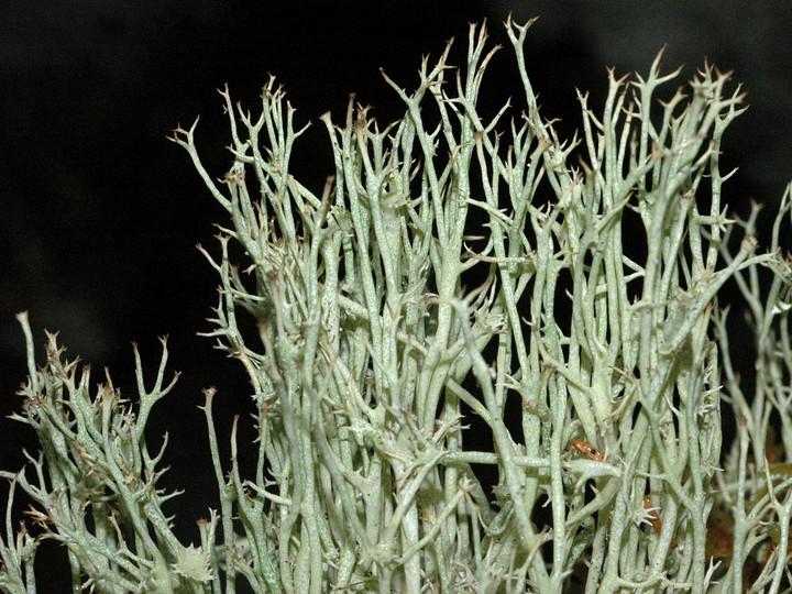 Cladonia amaurocraea