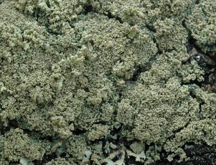 Cladonia parasitica