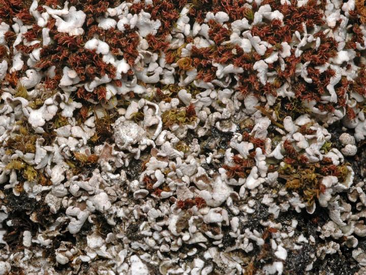 Cladonia symphycarpa