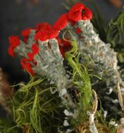 Cladonia bellidiflora