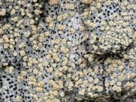 Clostomum corrugatum