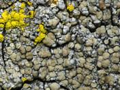 Cliostomum corrugatum