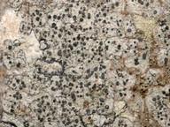 Cliostomum griffithii