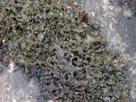 Collema cristatum