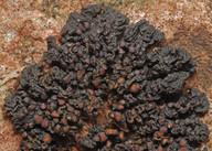Collema polycarpon