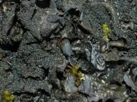 Collema flaccidum