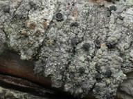 Cyphelium karelicum