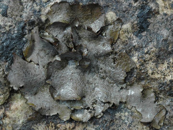 Dermatocarpon leptophyllum