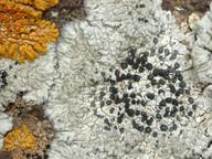 Diploicia subcanescens