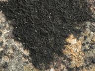 Ephebe lanata