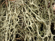 Evernia divaricata