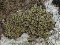 Fuscidea arboricola