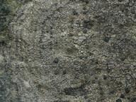 Fuscidea cyathoides