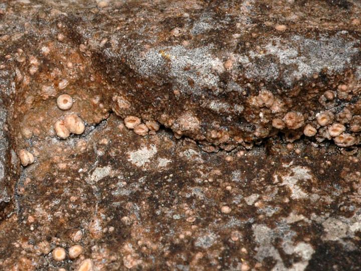Gyalecta jenensis