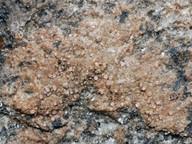 Gyalidea roseola