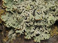Hypogymnia physodes