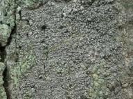 Lecanactis abietina