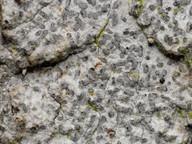 Lecanographa lyncea