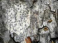 Lecanographa amylacea