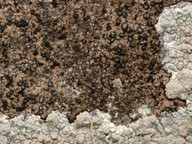 Lecanographa abscondita
