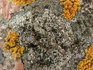 Lecanora helicopis