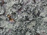 Lecanora sulphurea