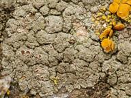 Lecanora poliophaea